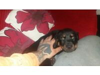 !!!!! FEMALE ROTWEILER PUPPY 10 WEEKS !!!!!!!!!