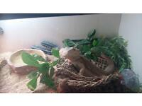 Bearded Dragon with Set Up £75 Ono
