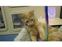 Stunning orange tabby female kitten
