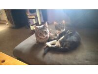 two beautiful cats to be rehomed grey Bengal tabby male and tabby female
