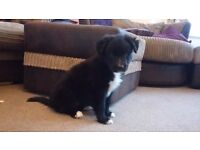 Cute cross breed puppies. gsd/malamute x collie/greyhound