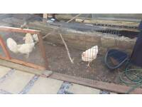 5 male chickens for sale