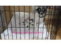 JackApso puppies (Jack Russell x Lhasa Apso)