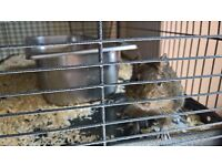FOR SALE - 4 male Degus with 3 storey cage.
