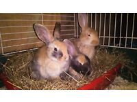 *** Bunnys for sale ***