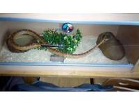 Male Corn Snake with Viv
