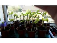 Runner bean plants