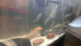 Job lot cichlid fish