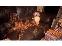 Golden Setter puppy for sale (Redsetter X Golden Retriever)