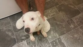 White and Blue Full Staffordshire Bull Terrier/ Staffy