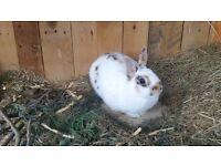 Two dwarfs bunnies for sale
