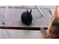baby pure bred giant continental rabbits ready to reserve now