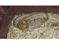 Golden Corn Snakes