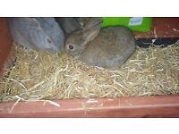 2 Brown Mini Lop Rabbits