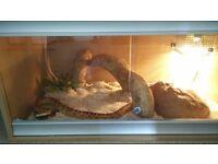 Adult Carolina Corn Snake + Full Setup £100 o.n.o