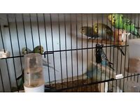 baby budgies for sale maltby s667lp