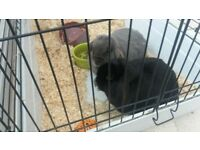 2 female lop rabbits 3 years old for sale. Cage, run and food included