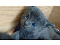 Male blue kitten for sale