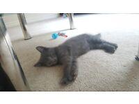 16 week old Russian blue male kitten for sale