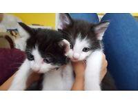 black and white kitttens