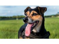 Molly - 6 year old lovable Jack Russell Terrier