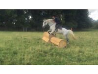 15.2 grey mare for share, 2/3 days per week £100