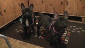 French bulldog kc girls for sale