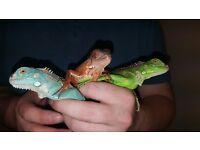 Green Iguanas