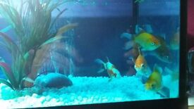 Fishtank complete with 5 exemplary of golden fish,verry beutifull and healty.i sell urgent