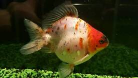 4 fancy goldfish, tank, live plants and accessories