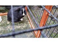 Female mini lop/lionhead rabbit needs new home