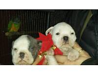 Dorset old tyme bulldog puppies for sale BLUE
