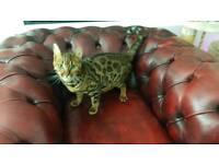 Beautiful full breed Bengal kitten