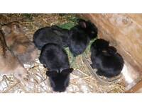British giant rabbit bunnies to be reserved