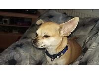 Luvly chihuahua
