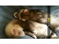 Ferrets for free