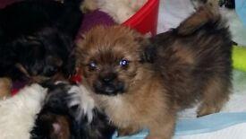 Gorgeous 3/4 Shih Tzu-Yorkie X (Shorkie) puppy ready to rehome