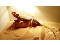 Beautiful bearded dragon (female) with enclosure
