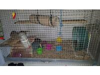 Degus for sale complete with cage