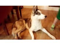Siberian husky girl puppy