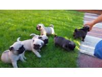Puppies pugs