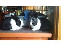 Cute Dutch male and female rabbits for sale!!