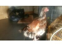 Aseel female chicken