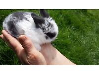 sweetest ever mini lop baby bunnies are looking for loving homes
