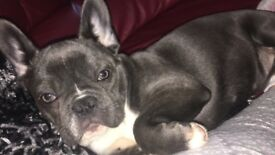 Stunning blue french bulldog kc reg