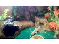 Leopard gecko and 3x2x2 Vivarium full set up