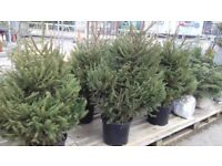 Pot Grown Spruces 3-4ft Nordman Firs and Fraser Firs