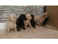 Stunning Labrador Puppies!! ONLY 2 LEFT!!