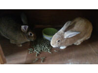 2 Rabbits and hutch for sale. Rabbits must go together!