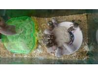Baby Syria hamsters for sale